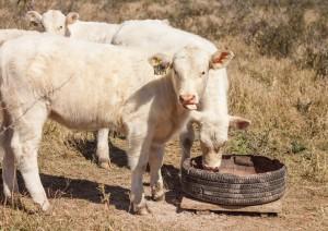 rancho-san-juan-charolais-charbray